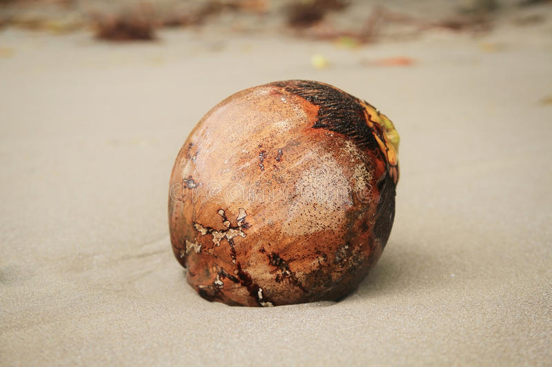 Coconut on the sand of a beautiful beach in Dominica royalty free stock image