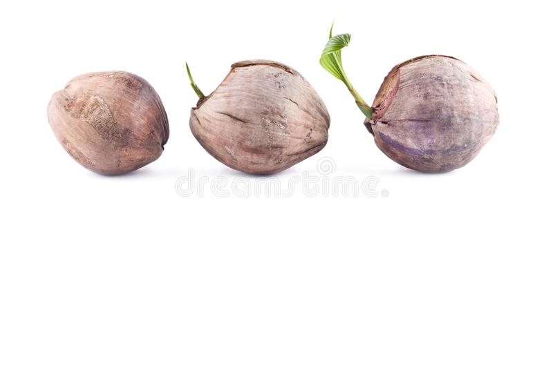 Coconut seedlings are growing sprout tree on white background planting agriculture isolated royalty free stock images
