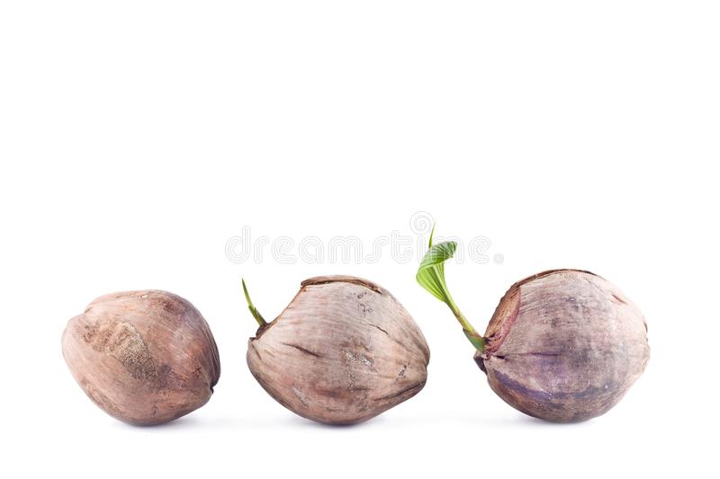 Coconut seedlings are growing sprout tree on white background planting agriculture isolated stock image