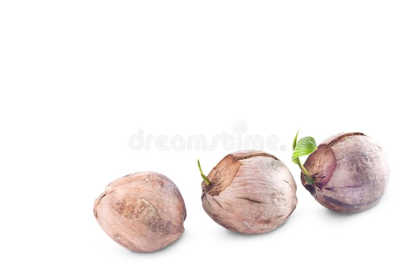 Coconut seedlings are growing sprout on white background planting agriculture isolated stock photography