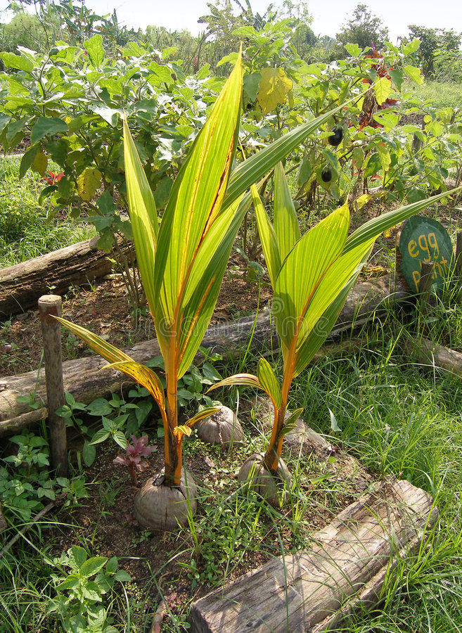 Coconut seedlings organic farm