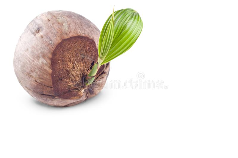 Coconut shoot seedlings are growing sprout on white background planting agriculture isolated stock photos