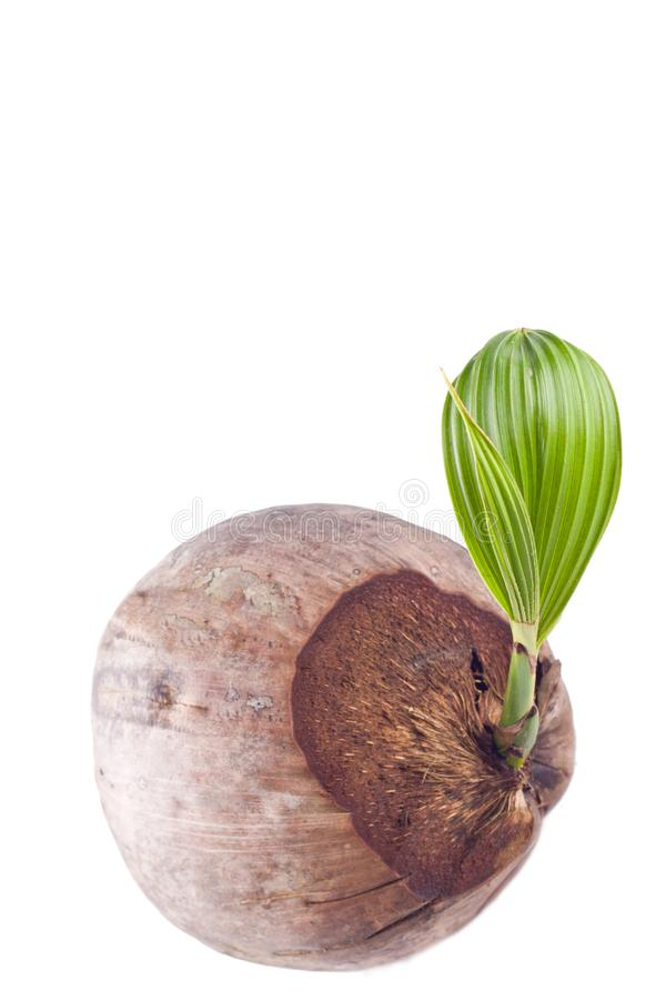 Coconut shoot seedlings are growing sprout on white background planting agriculture isolated royalty free stock photography