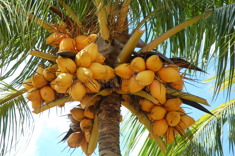 Download Coconut tree stock image. Image of plant, fruits, long - 13150549