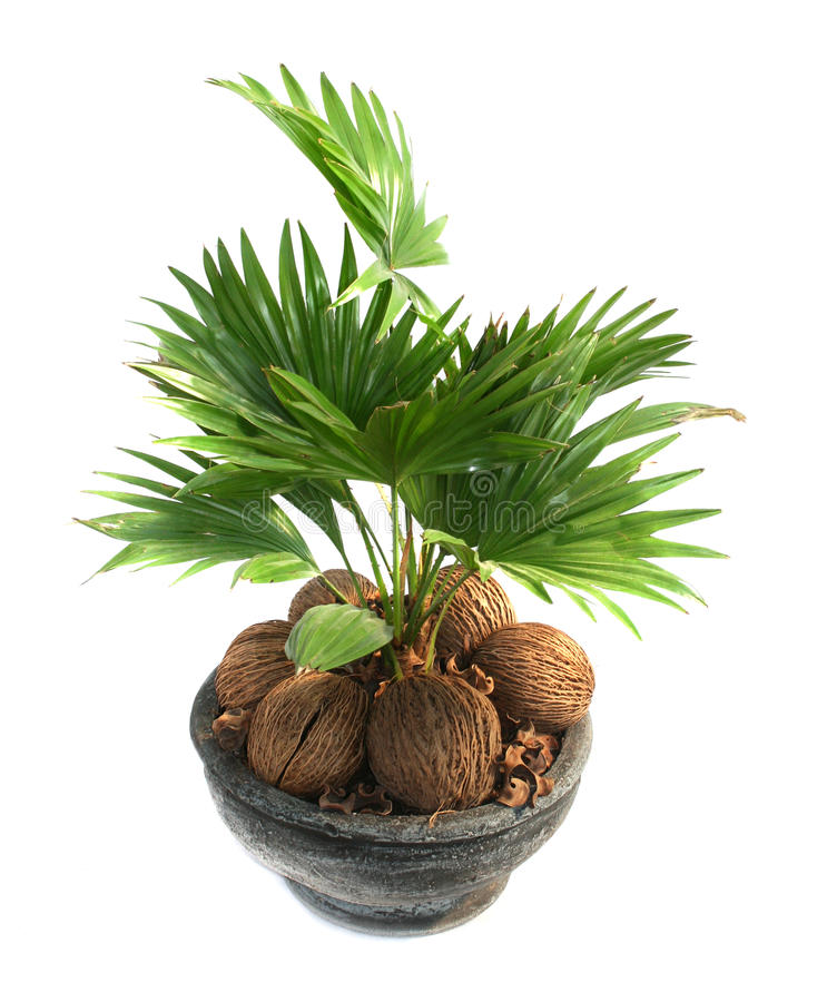 Free Coconut Tree Stock Photos - 17545143