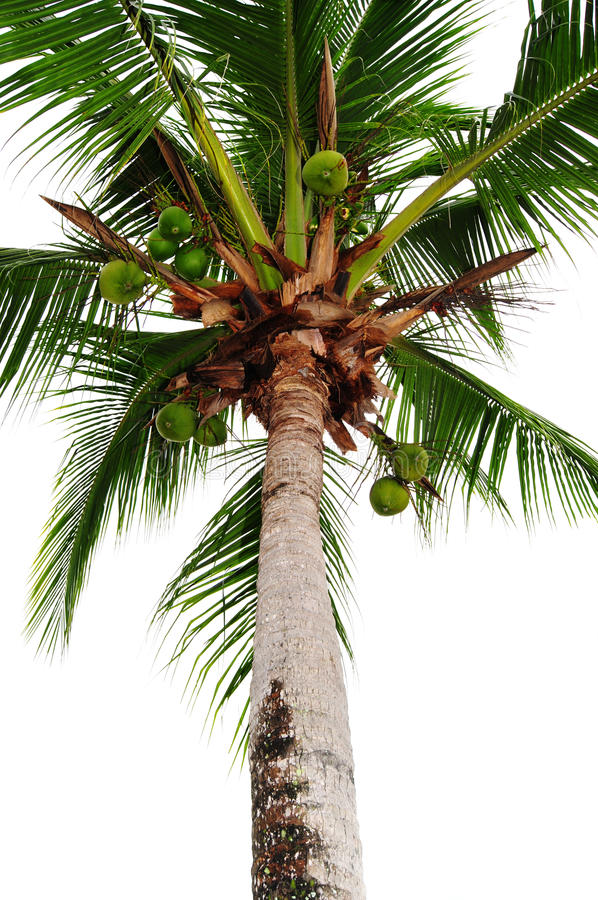 Download Coconut Tree stock photo. Image of background, tree, trunk - 18257902