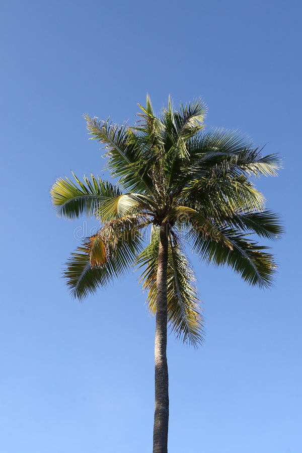 Download Coconut Tree stock photo. Image of leaf, nature, bright - 19395358