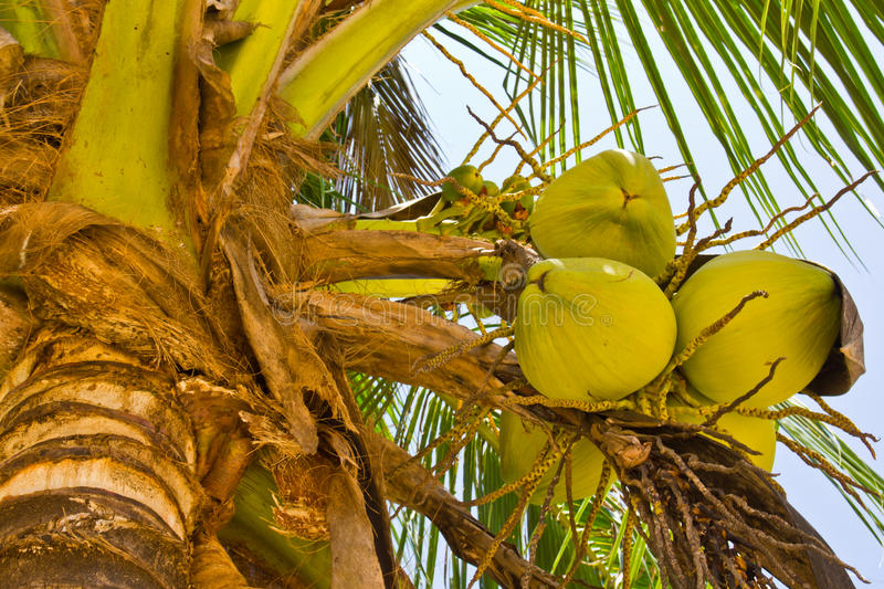 Coconut on tree royalty free stock photography