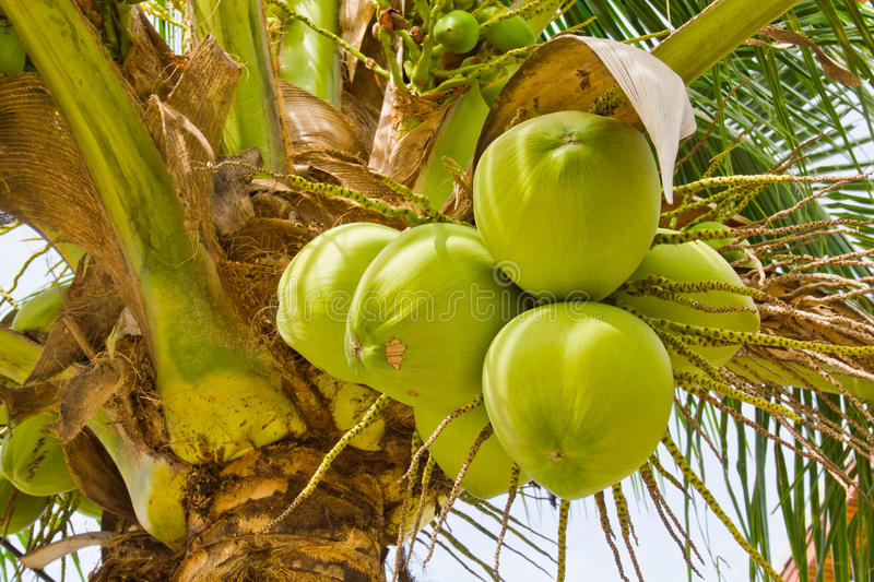 Coconut on tree stock images