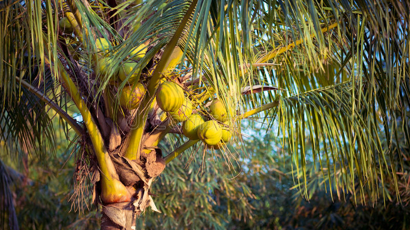 Download Coconut tree stock photo. Image of food, palm, vacations - 24449394