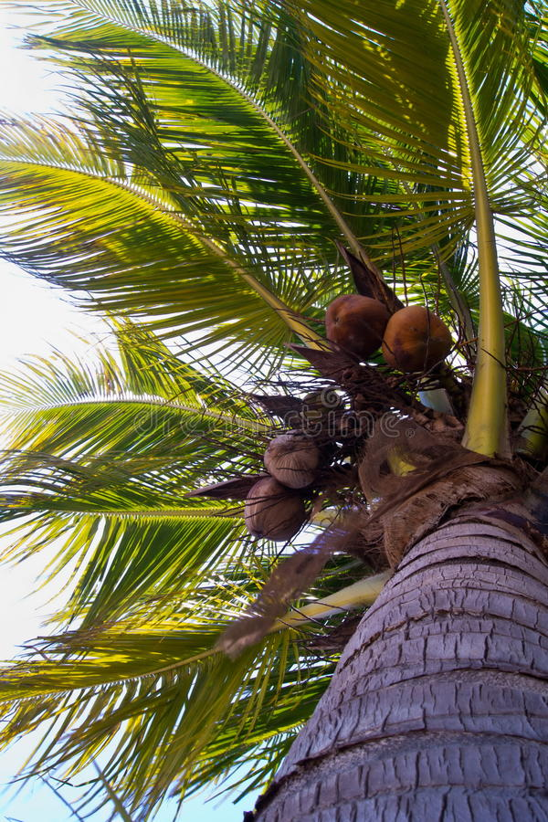 Download Coconut tree stock image. Image of colorful, asian, cloud - 26890811