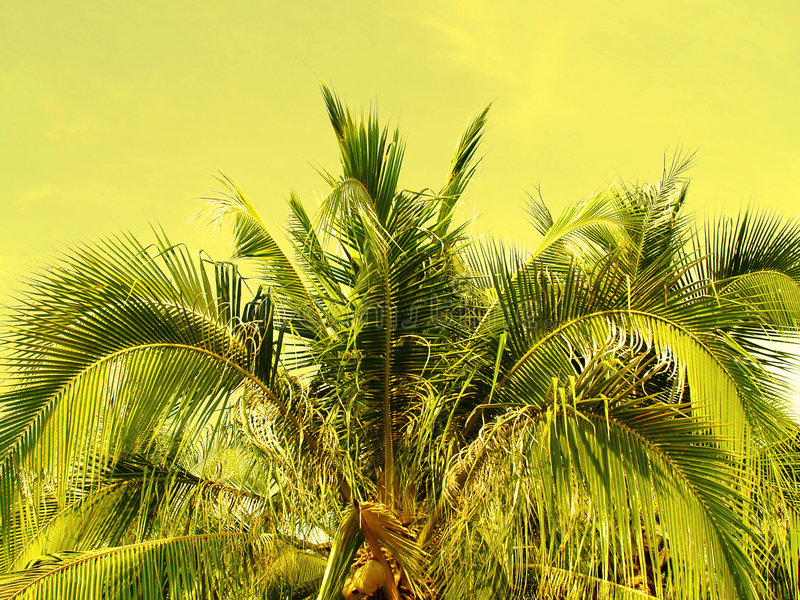 Download Coconut tree stock image. Image of palm, coconut, mexico - 522721