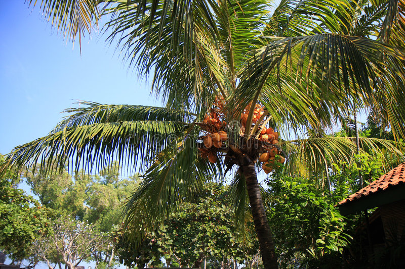 Coconut Tree. On our villa in Anyer Beach-Banten province, Indonesia royalty free stock photos