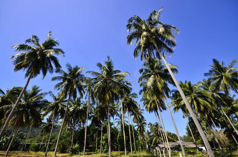 Download Coconut Tree On The Beach Royalty Free Stock Photography - Image: 28533887