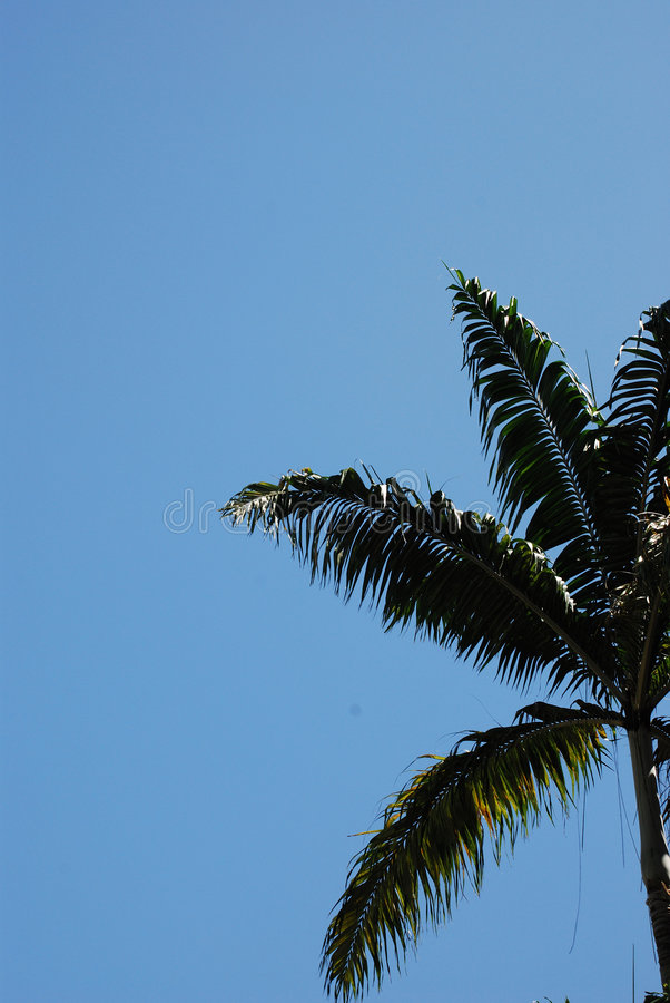 Coconut Tree In Blue Sky Royalty Free Stock Image