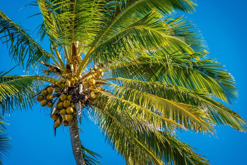 Coconut tree on a blue sky background royalty free stock images