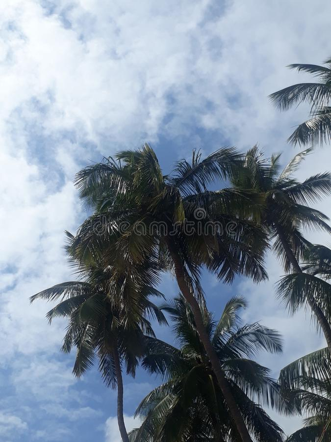 Coconut tree in bright blue skies and white clouds. Coconut tree in bright blue skies and white. Skys royalty free stock image