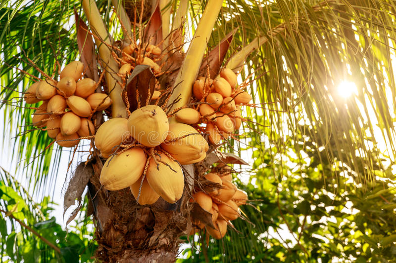 Coconut tree with bunch of yellow fruits hanging. Philippines royalty free stock images