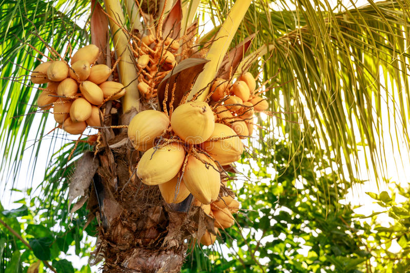 Coconut tree with bunch of yellow fruits hanging. Philippines royalty free stock photos