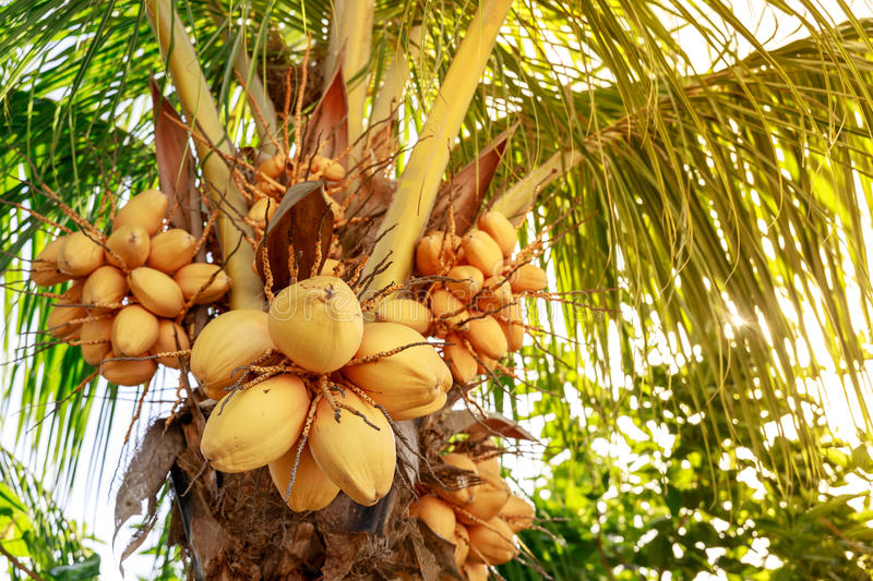 Coconut tree with bunch of yellow fruits hanging. Philippines royalty free stock photo