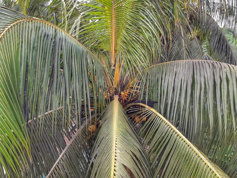 Coconut tree coconut, closeup, top view royalty free stock images