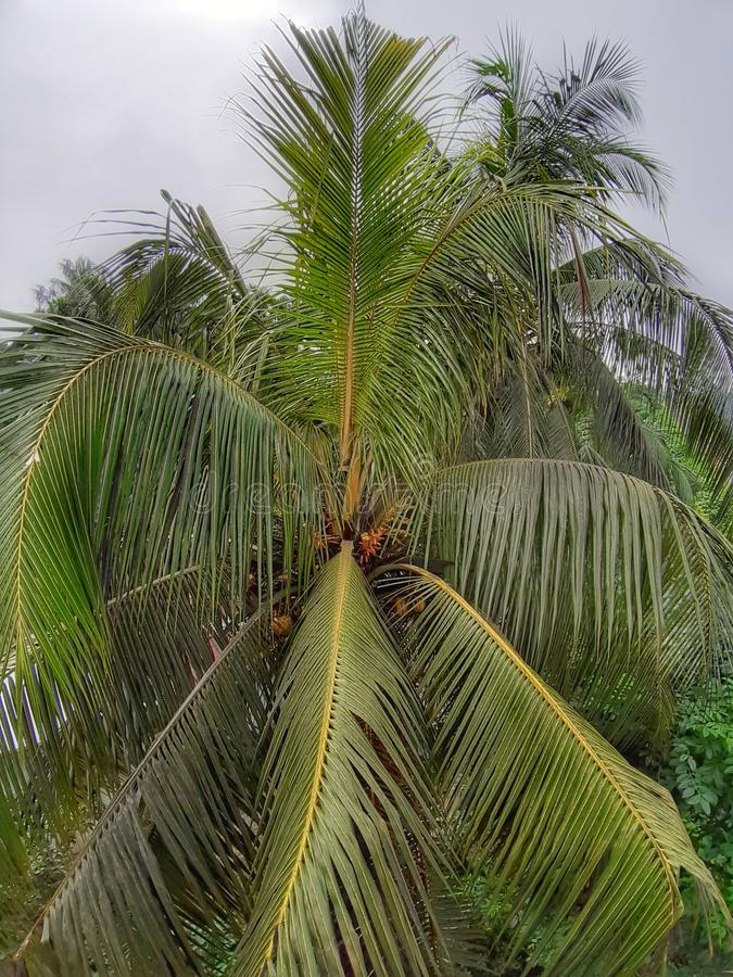 Coconut tree coconut, closeup, top view stock image