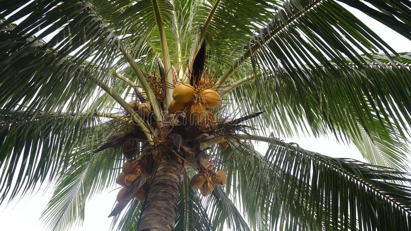 Coconut tree with coconuts. Yellow coconut at tree. Coconuts on a palm tree on a sunny day royalty free stock photo