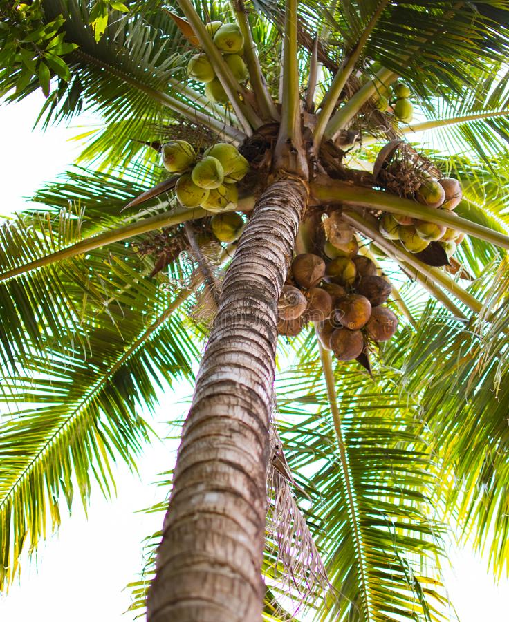 Coconut tree with many coconut and green leaf at low point view. Coconut tree or Cocos nucifera L. at low point view. This is a tree with brown trunk, many stock images