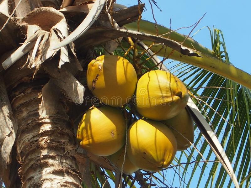 Coconut on the coconut tree. A few yellow and fresh coconut on the coconut tree stock images