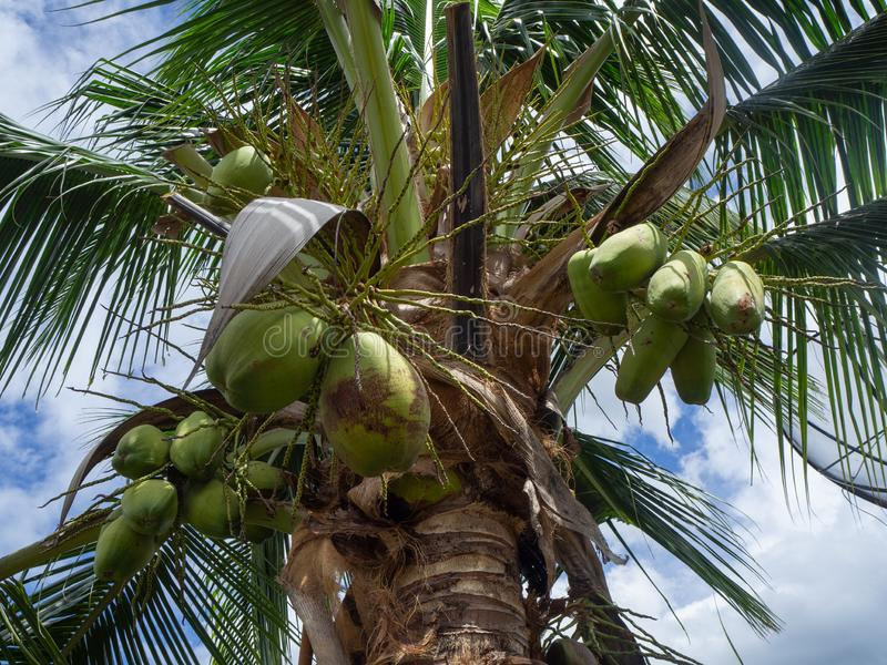 The coconut tree. stock image