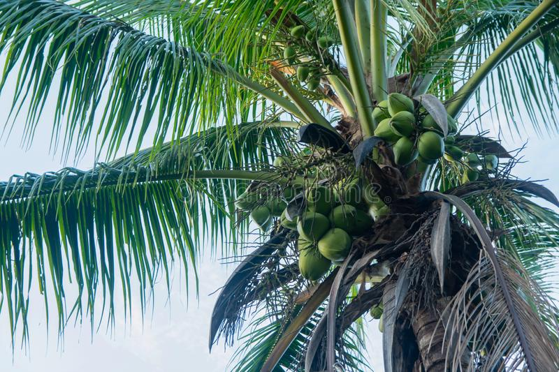 Coconut tree and coconut fruits hanging on tree view from under royalty free stock images