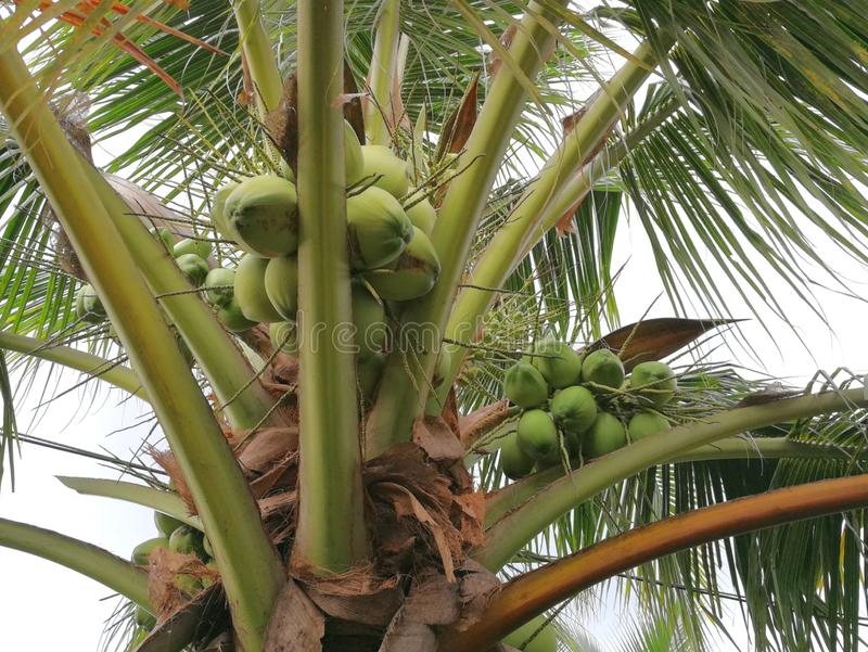 Coconut and its fruit stock images
