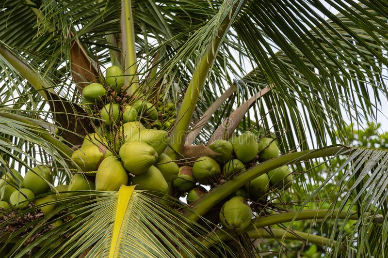 Coconut tree with fruits in Premier Hotel Ibadan Nigeria West Africa. Coconut tree with fruits seen in Premier Hotel courtyard Ibadan Nigeria West Africa stock photos