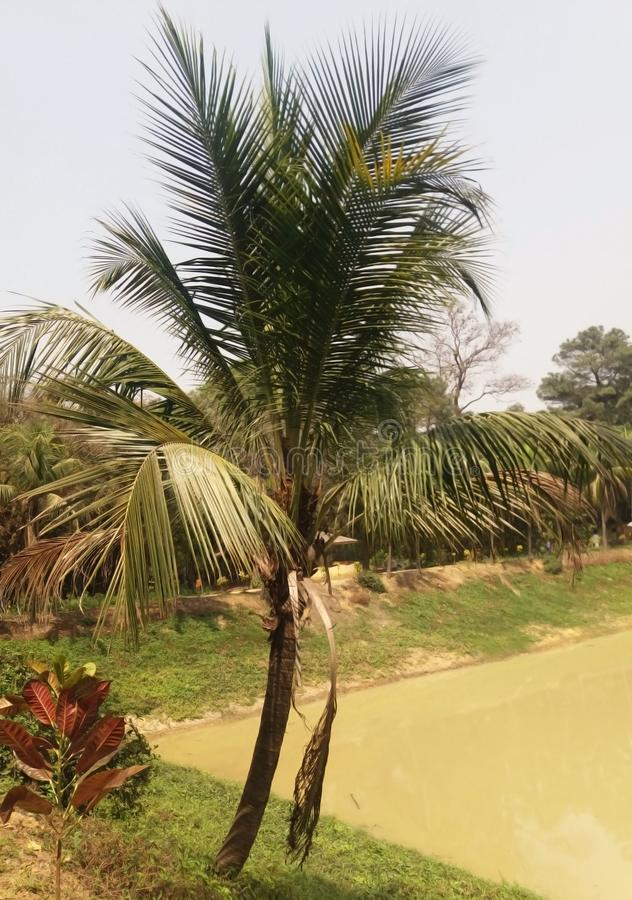 A coconut tree in a garden. stock images