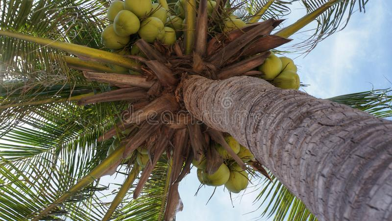 Coconut tree with green coconuts stock images