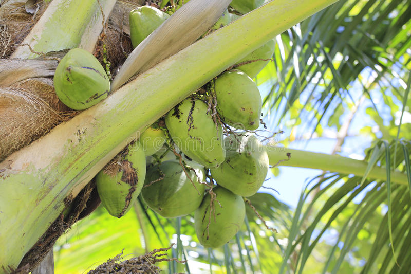 Download Coconut Tree Royalty Free Stock Photography - Image: 38014897