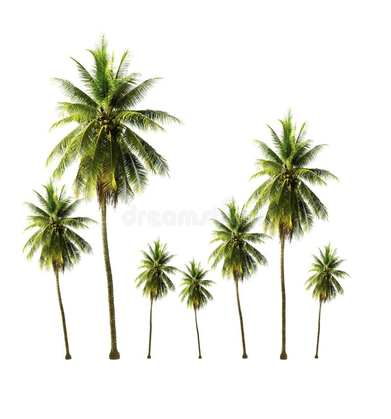 Coconut tree growing up in the garden isolated on white background. Garden of coconut tree isolated on white background looks fresh and beautiful royalty free stock images