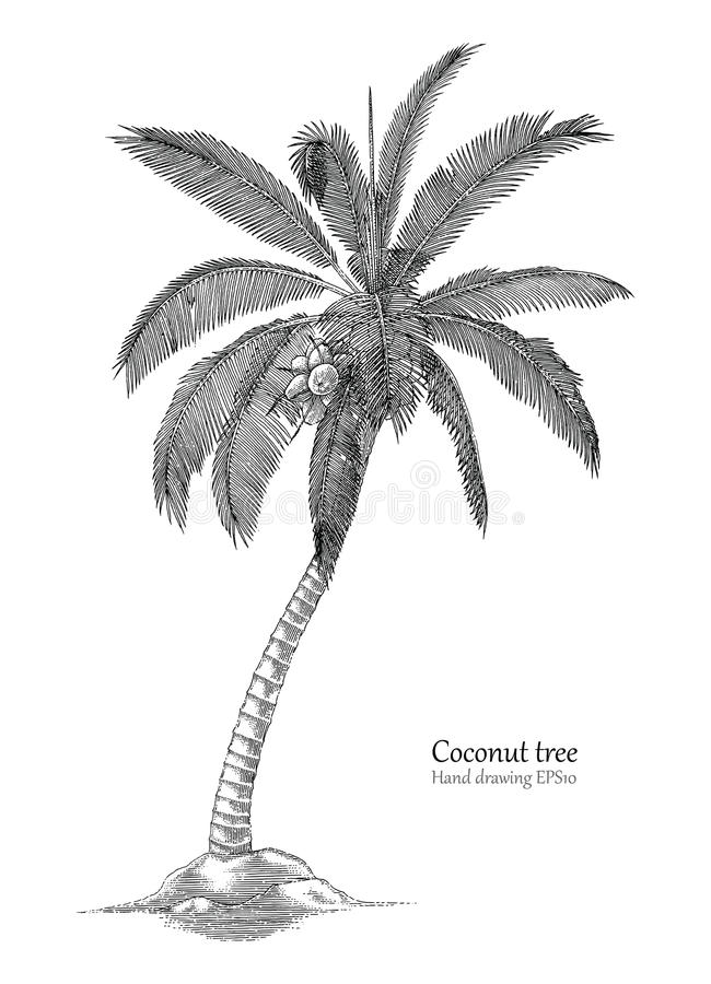 Coconut tree hand drawing engraving style. Isolated on white background vector illustration