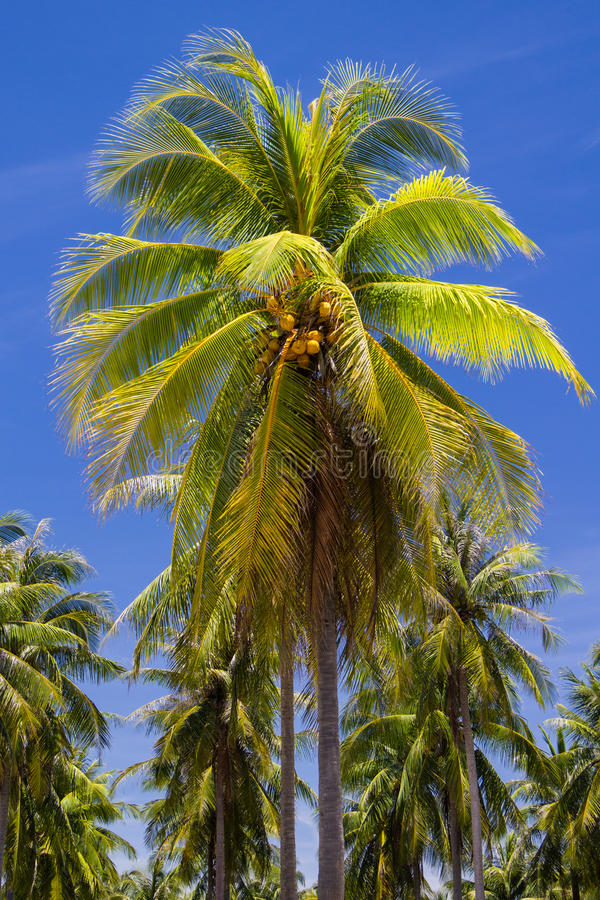 Download Coconut tree on island stock image. Image of ocean, idyllic - 26845621