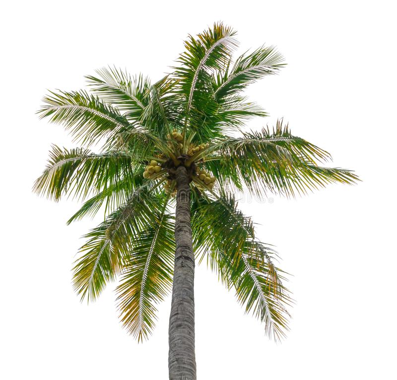 Coconut tree isolated beautiful on white background.  royalty free stock photography