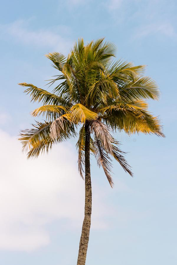Coconut tree isolated on the grass facing the sea stock images