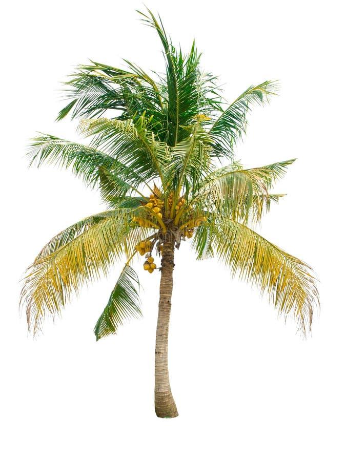 Coconut tree. Isolated on white background stock photo