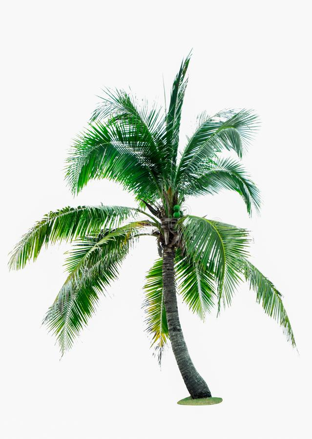 Coconut tree isolated on white background with copy space. Used for advertising decorative architecture. Summer and beach concept stock image