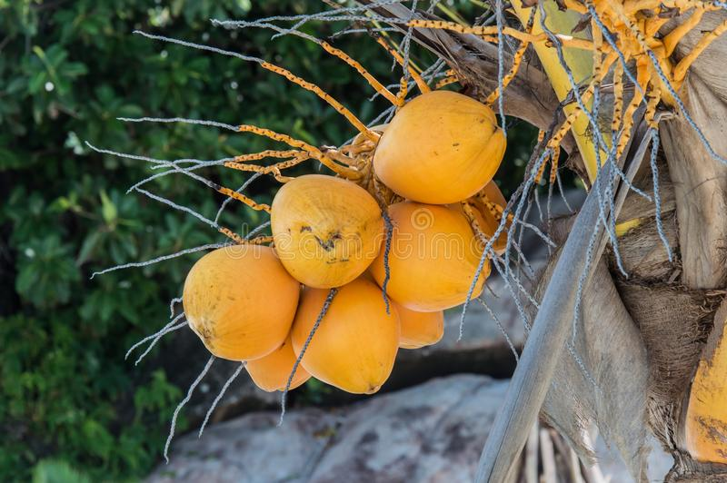 Yellow Coconut tree at Seychelles. A coconut tree loaded with bunches of coconut fruits against a bright sunny sky. The water inside young coconuts is a royalty free stock photo