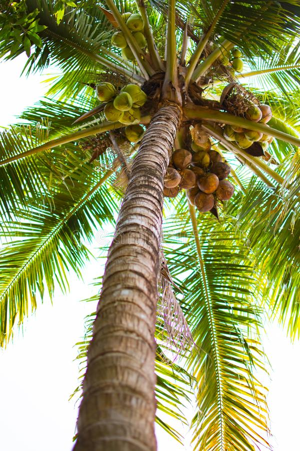 Coconut tree with many coconut and green leaf at low point view. Coconut tree or Cocos nucifera L. at low point view. This is a tree with brown trunk, many stock photos