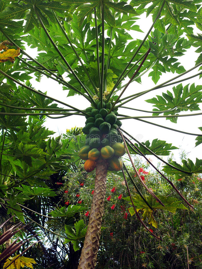 Coconut tree. In Maui Hawaii with green yellow fruits stock images