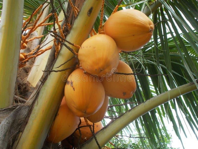 Yellow king Coconut tree. Orange or yellow king coconut tree on the garden stock photo