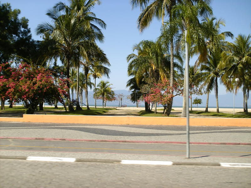 Coconut tree in the park. The image shows some coconut trees on in a park in Ubatuba - Brazil stock image