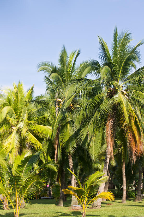 Coconut tree. In park public stock photography