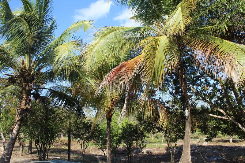 Coconut tree Park. Coconut trees in a park stock photography